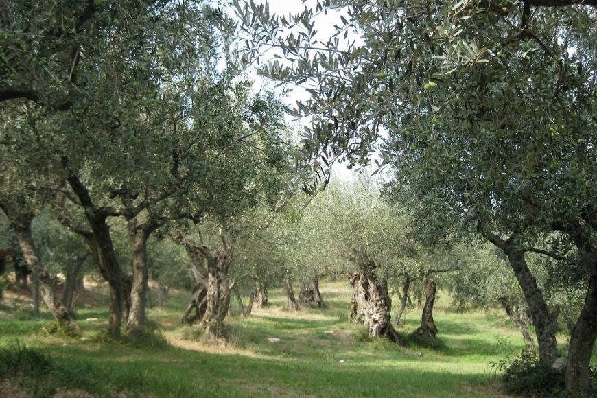 L'Olivo – Olea Europaea